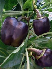Перец сладкий Пурпурный колокол - Семена Тут