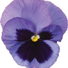 Пион ИТО-гибрид Пастель Сплендор (С3) (лавандовый с пурпурным пятном в центре, полумахр )