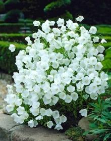 Колокольчик карпатский Белый - Семена Тут