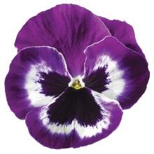 Виола крупноцветковая Дельта Виолет энд Вайт [1000 шт] - Семена Тут