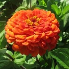 Цинния георгиноцветковая Оранжевый король - Семена Тут