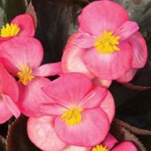 Бегония вечноцветущая бронзоволистная Бада Бум Роуз  [1000 драже] - Семена Тут