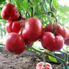 Томат Розовый гигант - Семена Тут