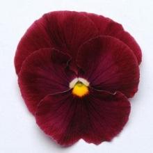 Виола крупноцветковая Матрикс Роуз  [250 шт] - Семена Тут