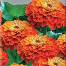 Цинния георгиноцветковая Супер йога оранж - Семена Тут