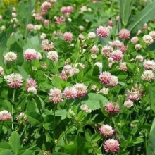 Клевер гибридный Розовый (1 уп - 0,1 кг) - Семена Тут