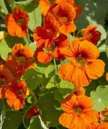 Настурция большая Оранжевый блик