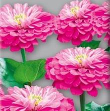 Цинния георгиноцветковая Супер йога Роуз - Семена Тут