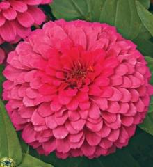 Цинния изящная Розовая чаровница - Семена Тут
