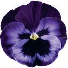 Виола крупноцветковая Дельта Неон Виолет [100 шт] - Семена Тут