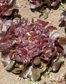 Пион молочноцветковый Бакай Белл (С3) (темно-красно-коричневый с круп. тычинками, розовидный, аромат.)
