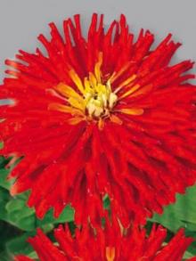 Цинния кактусовидная Бог огня - Семена Тут