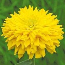 Цинния кактусовидная Бог солнца - Семена Тут