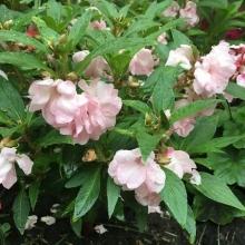 Бальзамин Том Самб розовый