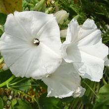 Ипомея Мун Лайт - Семена Тут