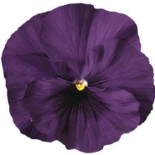 Виола крупноцветковая Дельта Пьюр Виолет [100 шт] - Семена Тут