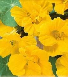 Настурция большая Золотой блик - Семена Тут