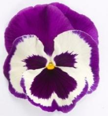 Виола крупноцветковая Динамит Блю энд Вайт Шейдес [100 шт] - Семена Тут