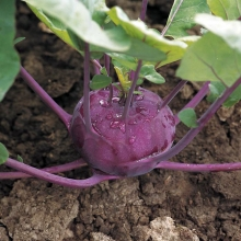 Роза чайно-гибридная Диз (С3,5) (бело-розовый)