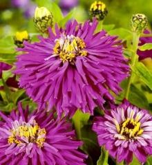 Цинния кактусовидная Лиловый император - Семена Тут