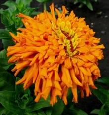 Цинния кактусовидная Оранжевый ацтек - Семена Тут