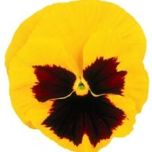 Виола крупноцветковая Матрикс Еллоу Блотч [50 шт] - Семена Тут