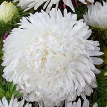 Астра королевский размер Белая - Семена Тут