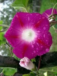 Ипомея Пурпурная звезда - Семена Тут
