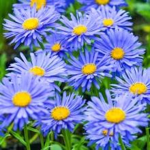 Астра альпийская Голубая - Семена Тут