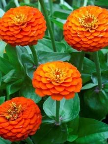 Цинния лиллипут Оранжевая - Семена Тут