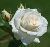 Роза чайно-гибридная Ленип (Паскаль) (С3,5) (белый)