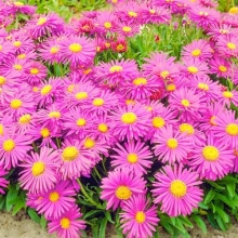 Астра альпийская Розовая - Семена Тут