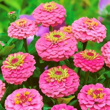 Цинния лиллипут Розовая - Семена Тут