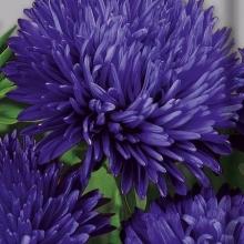 Астра королевский размер Синяя - Семена Тут