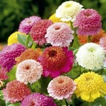 Цинния скабиозоцветковая Смесь окрасок - Семена Тут