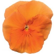 Виола крупноцветковая Дельта Пьюр Оранж [100 шт] - Семена Тут