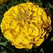 Цинния георгиноцветковая Птичка канарейка - Семена Тут
