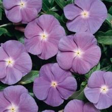 Спирея ниппонская Гелверс Рейнбоу (С5 H40-60) (цветки белые)