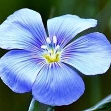 Лен обыкновенный Голубой - Семена Тут