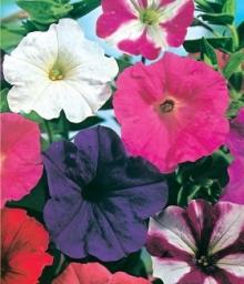 Петуния многоцветковая Колорама микс F2 - Семена Тут