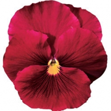 Виола крупноцветковая Дельта Пьюр Роуз [100 шт] - Семена Тут