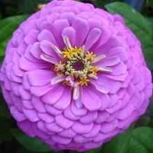 Цинния георгиноцветковая Фиолетовая королева - Семена Тут