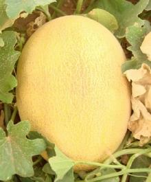 Виноград плодовый Краса Никополя (C3) (сверхранний, темно-розовый, овальный)