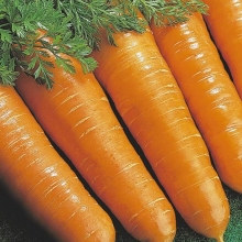 Морковь Витаминная 6 (фракция 1,6-1,8 мм) - Семена Тут