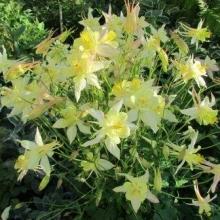 Аквилегия гибридная Желтая звезда - Семена Тут