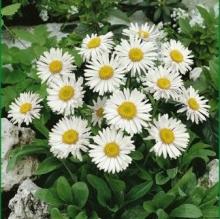 Астра альпийская Белая - Семена Тут