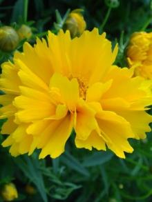 Кореопсис крупноцветковый Затея - Семена Тут