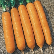 Морковь Самсон - Семена Тут