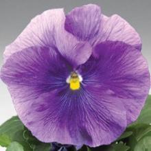 Виола крупноцветковая Дельта Тру Блю [1000 шт] - Семена Тут