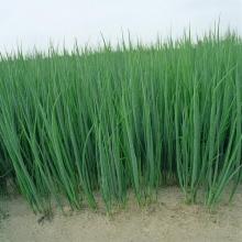 Барбарис Тунберга Эректа (С1,5/С2) (лист зеленый)
